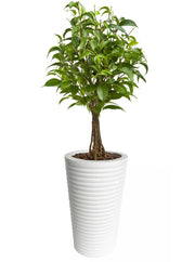 Carmen Planter - Round, White Plant Container - Tall Planter - Fiberglass Plant Container