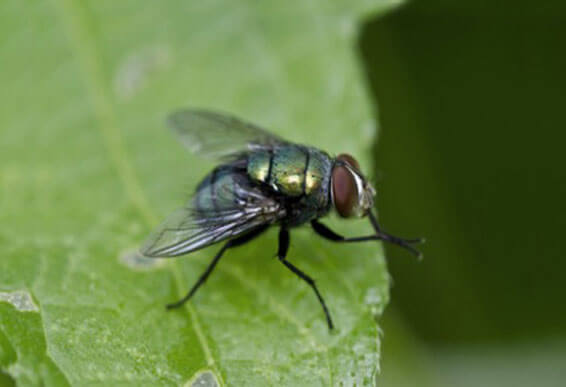 Diatomaceous Earth: Natural Fly Repellent