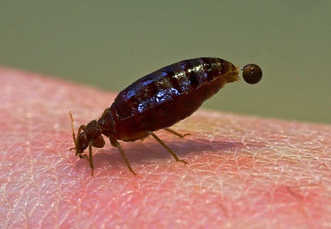 Does Diatomaceous Earth Kill Bed Bugs?