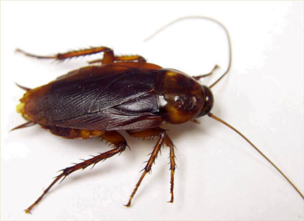 Diatomaceous Earth: The Natural Cockroach Killer