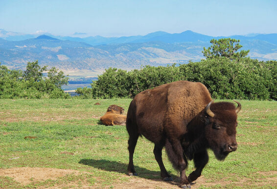 Diatomaceous Earth: Bison Feed Additive