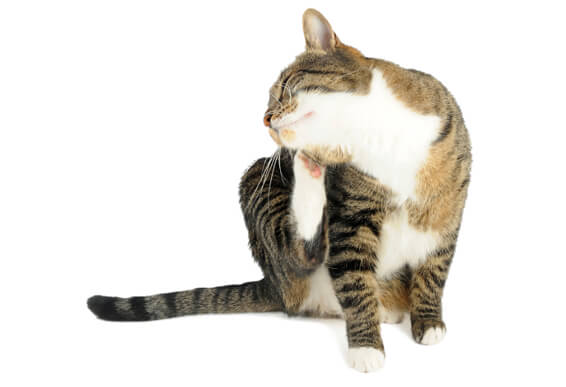 Natural Flea Control for Cats with Diatomaceous Earth