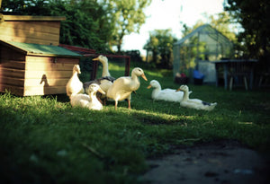 Diatomaceous Earth: Duck Feed Additive