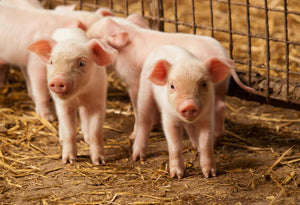 Diatomaceous Earth: Hog and Pig Feed