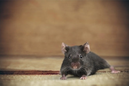 DIY Chase Away Rodents Without Traps or Poisons with Diatomaceous Earth and Essential Oils