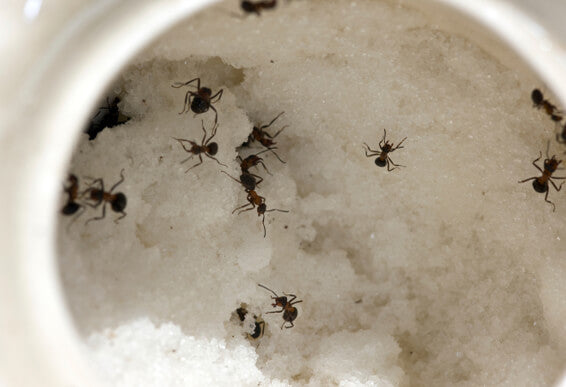 Natural Indoor Ant Treatment Diatomaceous Earth