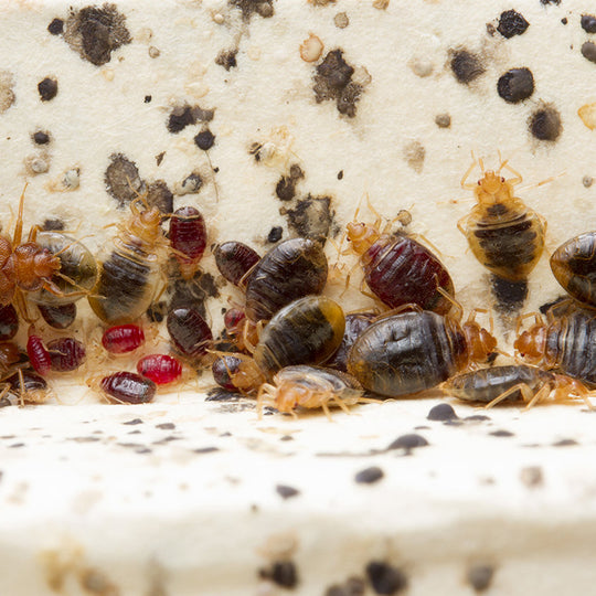 Natural Bed Bug Control