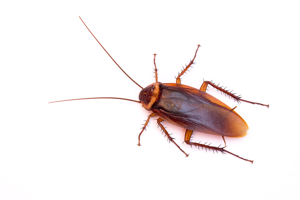 how to apply diatomaceous earth for cockroaches. Black Bedroom Furniture Sets. Home Design Ideas