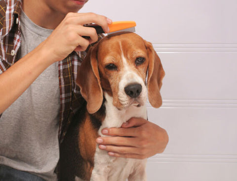man combing dog for fleas
