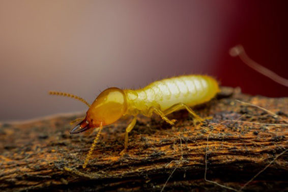 Protect Your Home From Termites With De Diatomaceous Earth