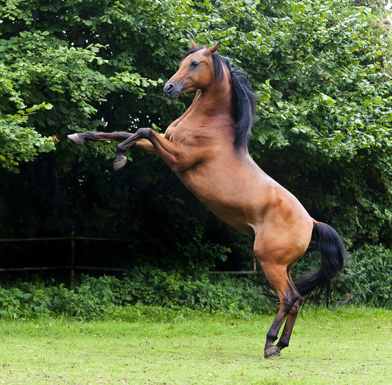 The Arabian Horse History-Feature, Colour, Types