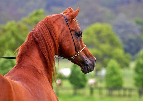 Arabians Achieve Their Regal Features