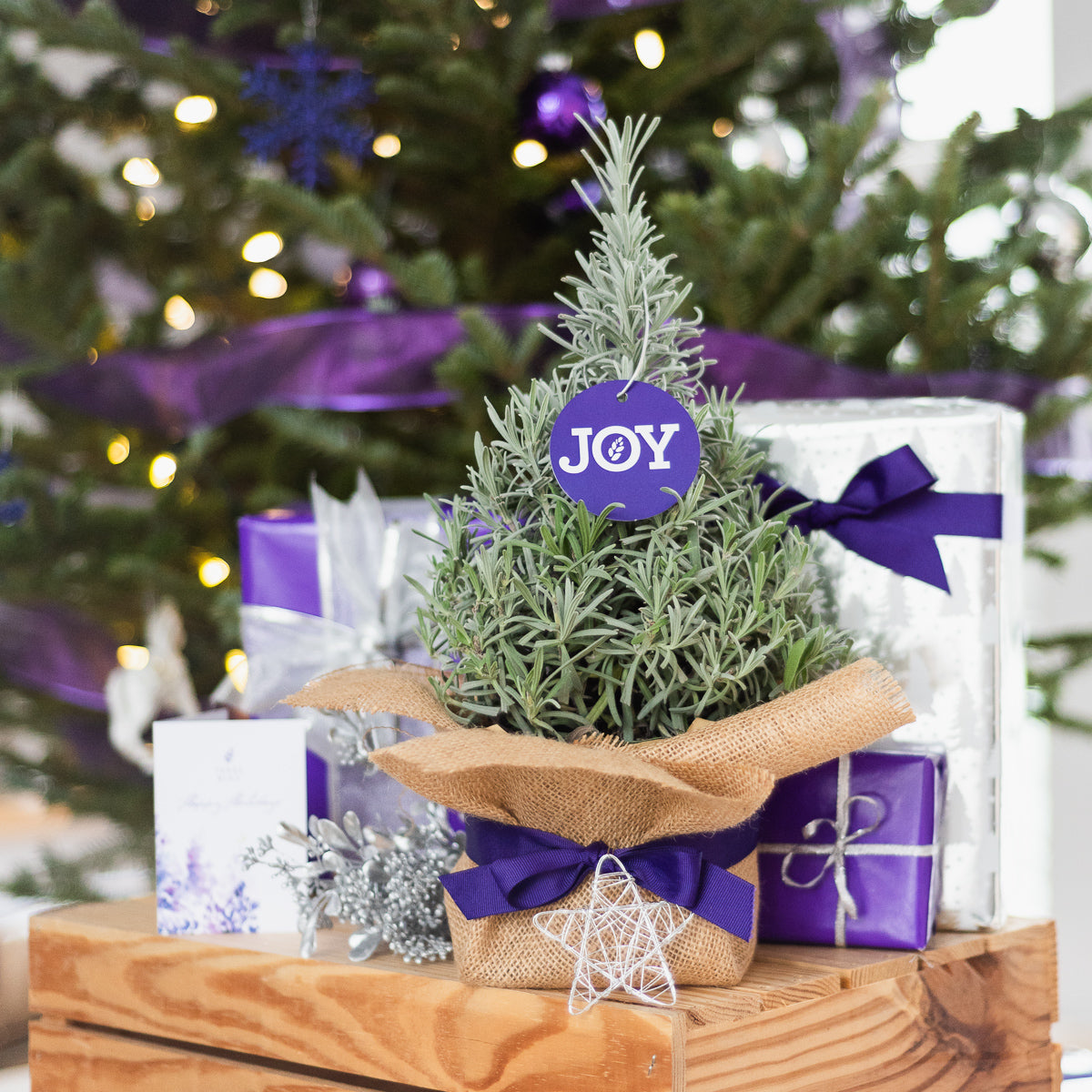 Lavender Christmas Tree - Farm Pickup Only