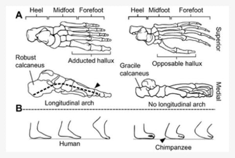 The position of the ball of the big toe compared to the ball of the 2nd toe in the human versus the chimpanzee