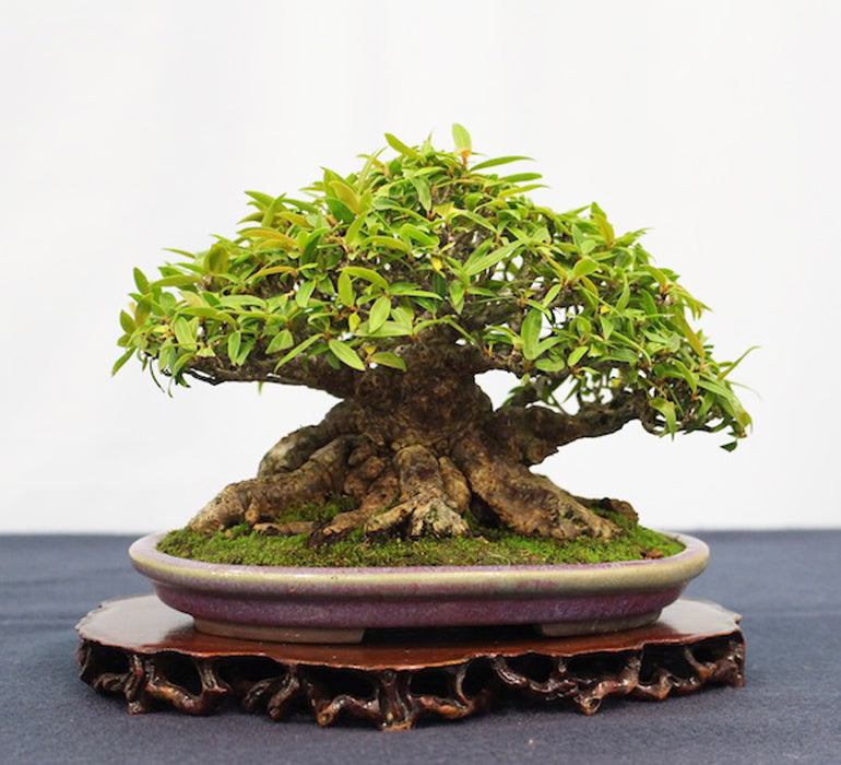 Small Bonsai Thinking Ahead Stone Lantern