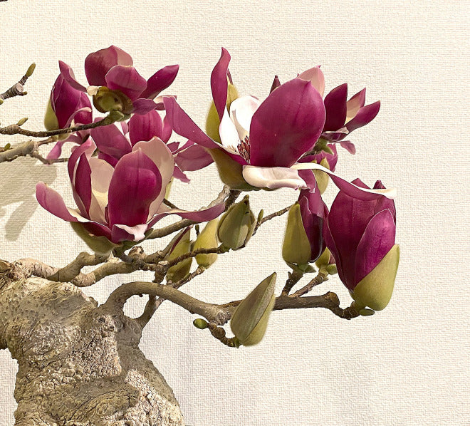 close up of magnolia bonsai blooms from bill valavanis