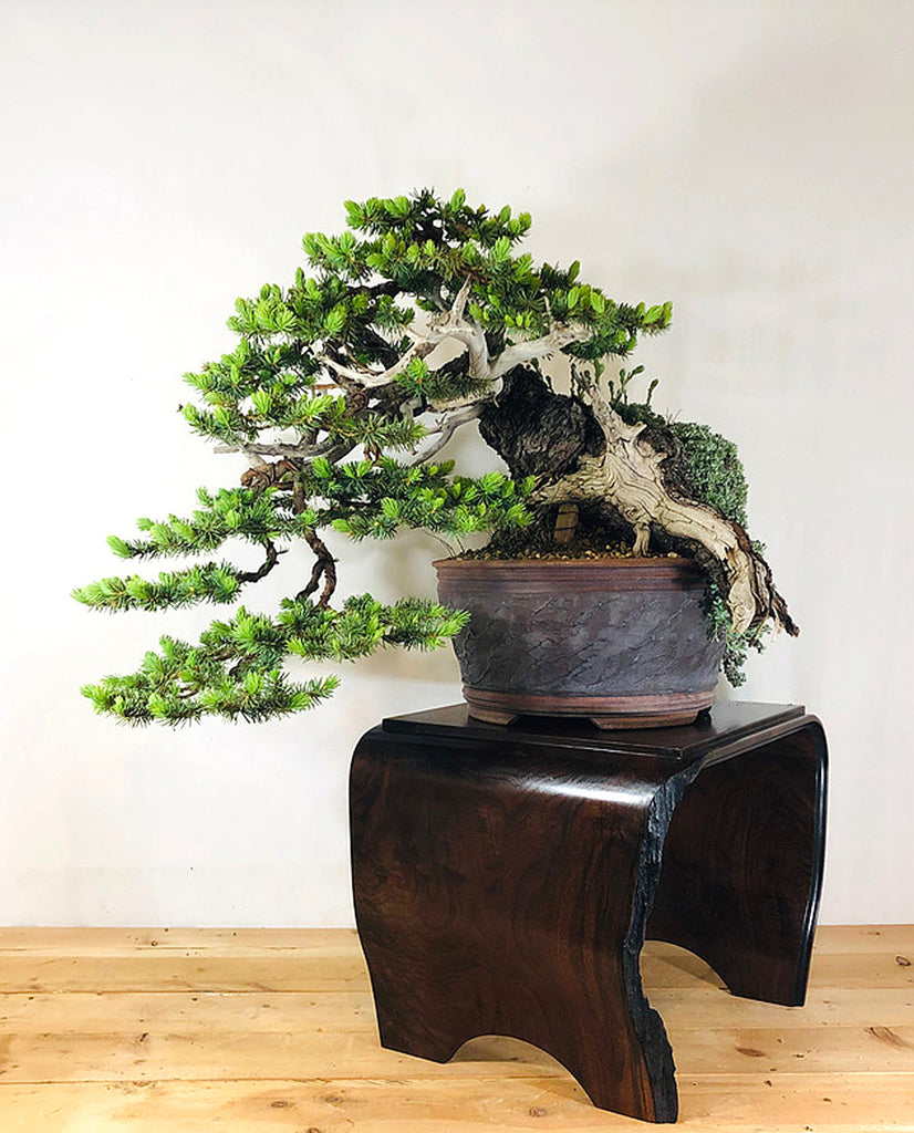 Bonsai Evolution Of A Remarkable Colorado Blue Spruce Stone Lantern