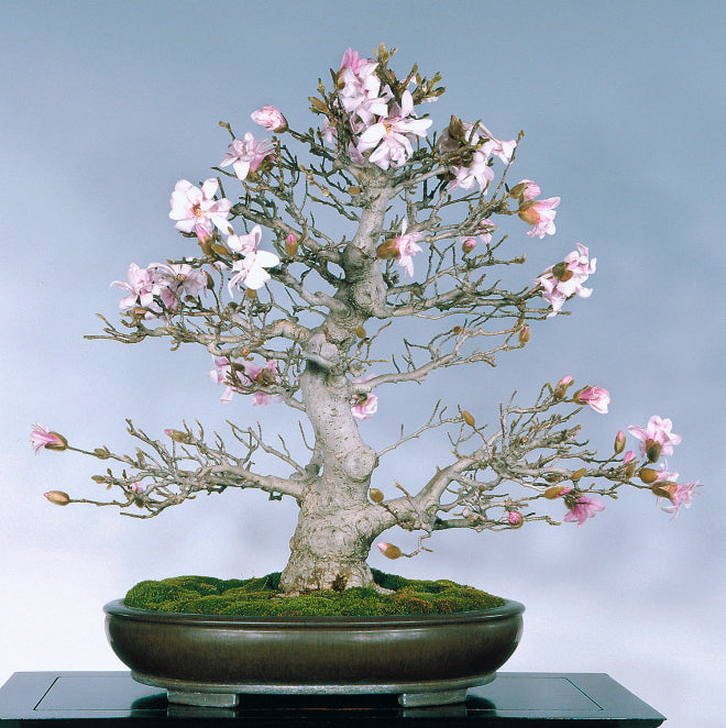 Bill S Blooming Bonsai And A Gentle Reminder About The Upcoming U S N Stone Lantern