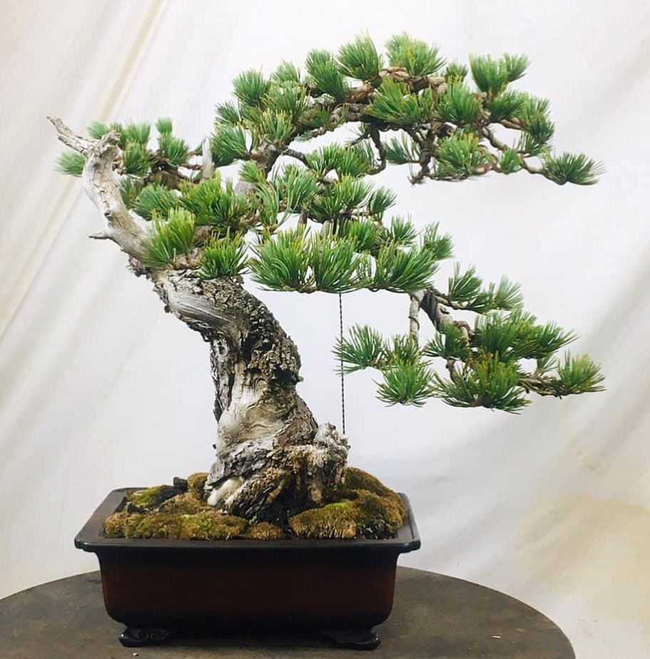 Before After Bonsai Todd S Limber Pine Plus Notes On A 3 000 Year Stone Lantern
