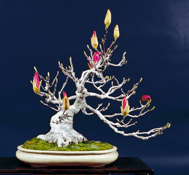 Magnolia Bonsai with pink flower buds in oval pot by Bill Valavanis