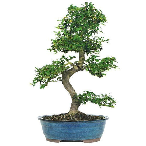 Chinese Elm Bonsai Tree - 12 years