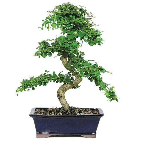 Fukien Tea Bonsai Tree - 12 years - with Humidity Tray