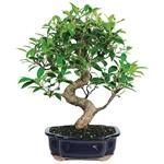 Golden Gate Ficus Bonsai Tree - 6 years - with Humidity Tray