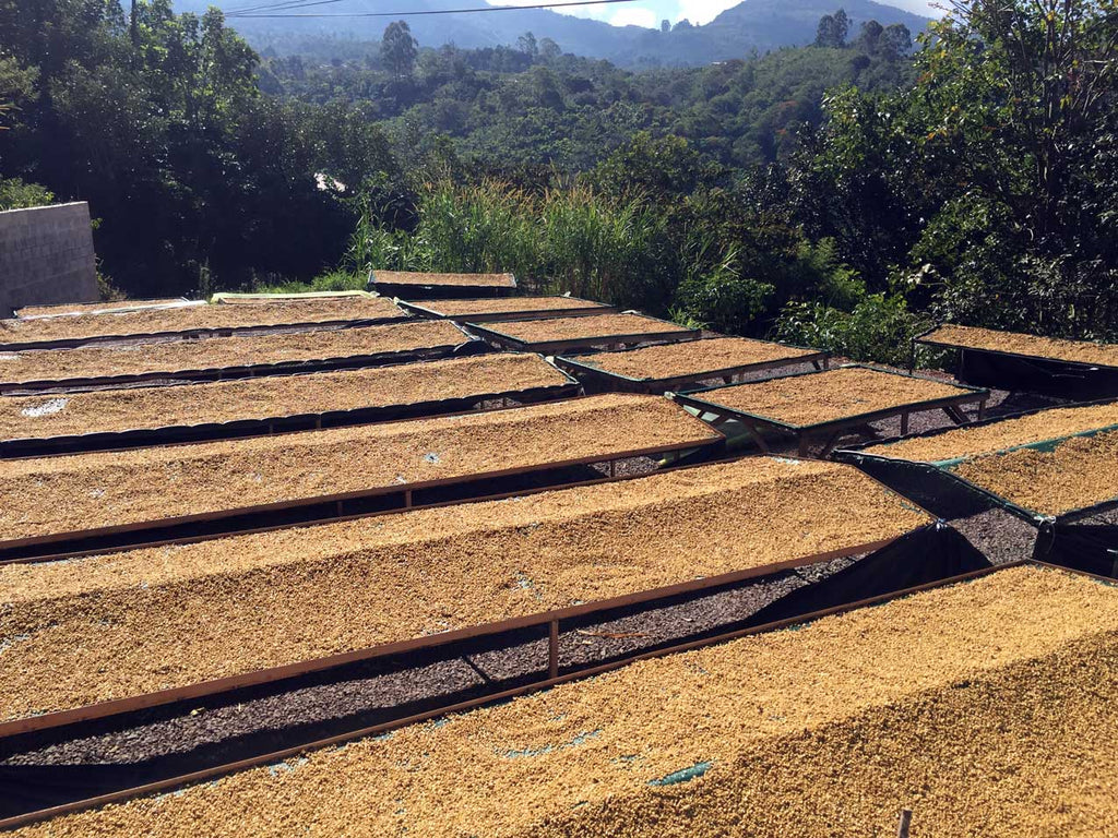 Drying Beds at Bajos del Rio Mill