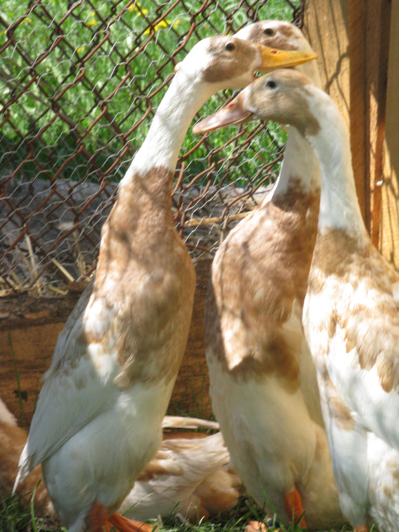 Fawn & White Indian Runner Hen