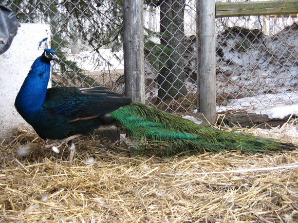 Black Shoulder Yearling Peacock