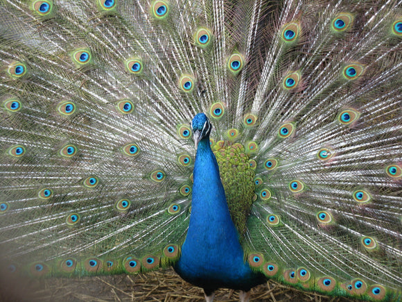 India Blue Yearling Peacock