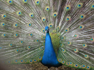 India Blue Yearling Peahen