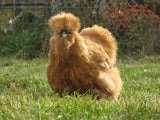 Buff Silkie Rooster