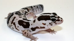 large tailed gecko