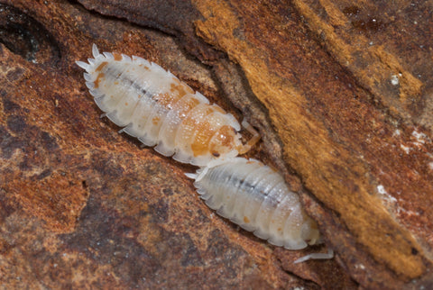 Porcellio scaber 'Orange Dalmatian'