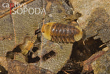 Isopoda sp. 'Rubber Ducky'