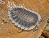 Porcellio werneri