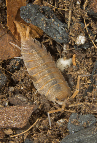 Porcellio nicklesi