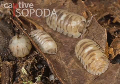 Armadillidium 'Marbleized'