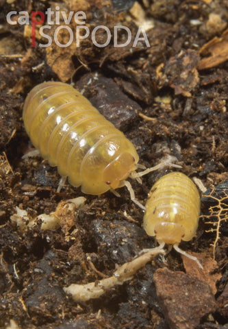 Armadillidium vulgare 'Golden'