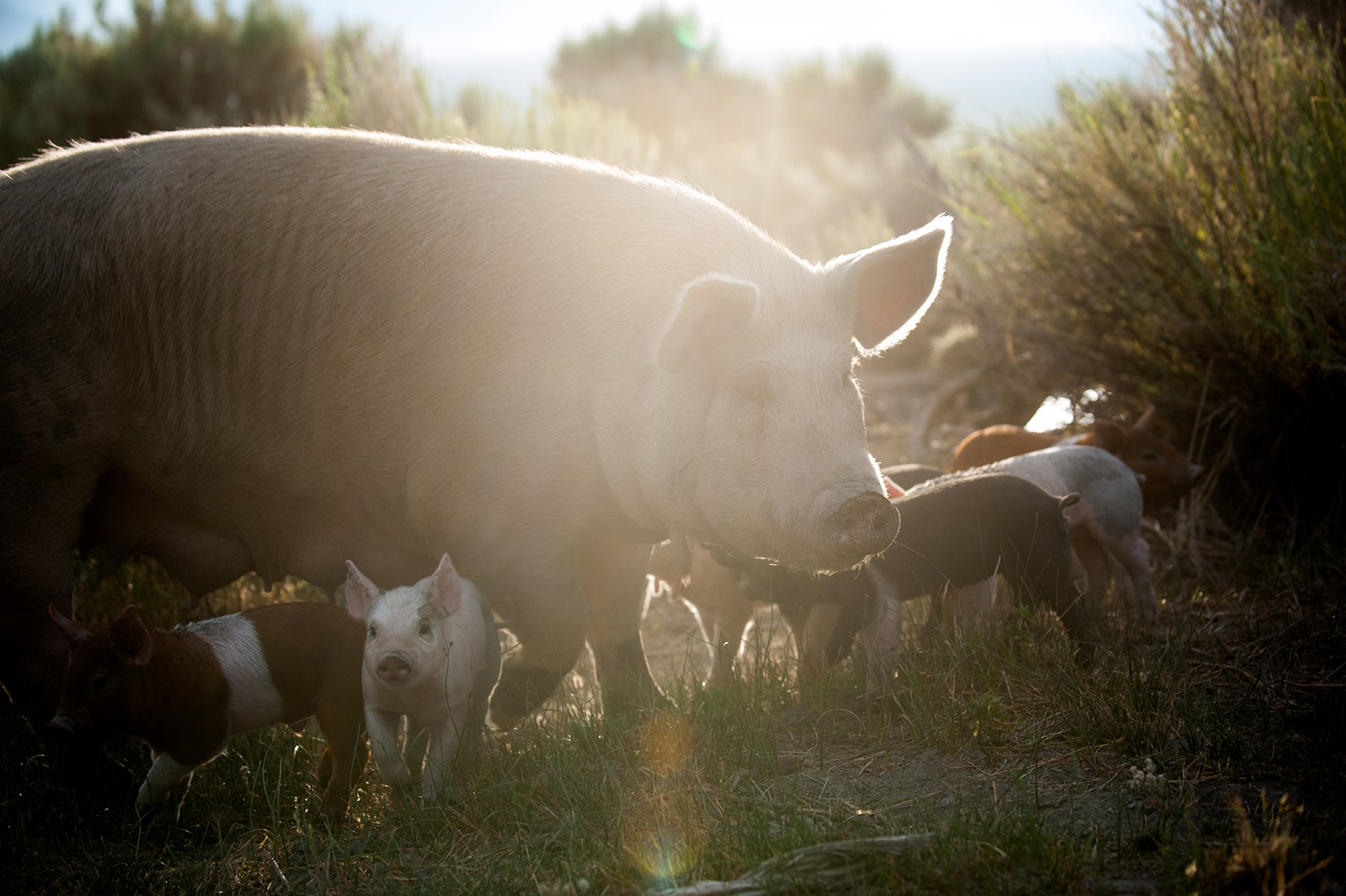 Pastured Pork from Down the Mountain Farmstead