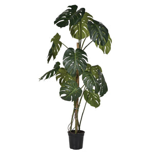 Green Monstera Tree in Black Plastic Pot