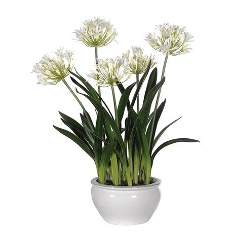 Agapanthus Plants in White Glazed Pot