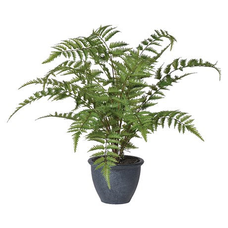 Green Bracken Fern Bush in Pot