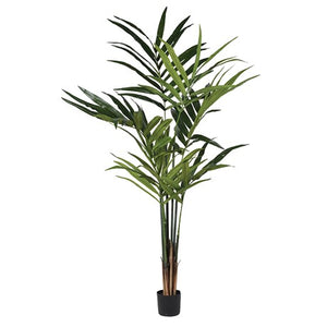 Green Kentia Palm Plant in Pot