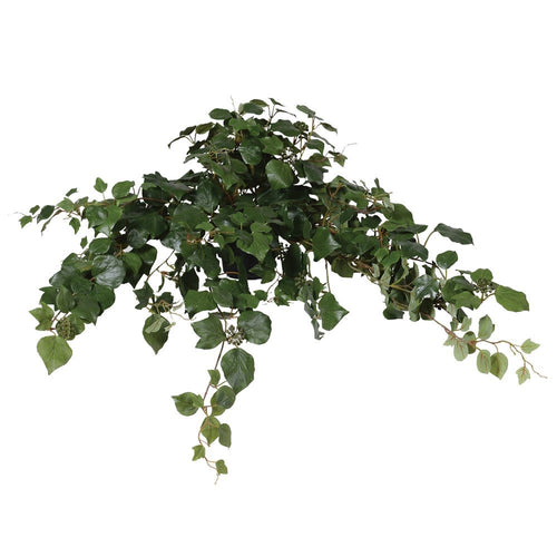 Green French Ivy Bush in Black Pot