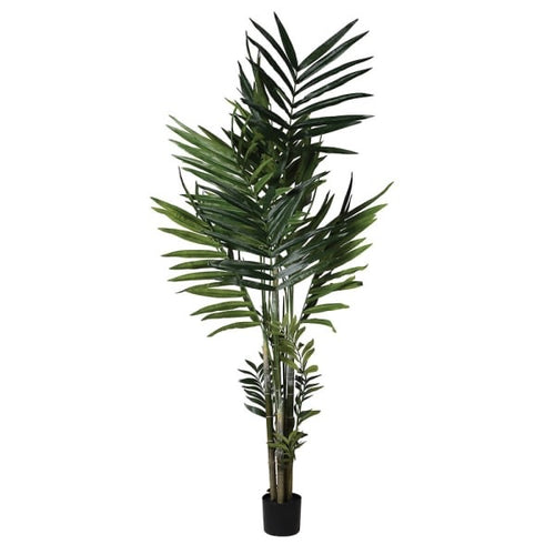 Green Kentia Palm  in black pot