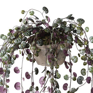 Potted Purple Angel Vine