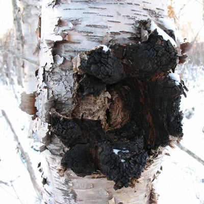 Wild Alaska Chaga Chunks - Antioxidant Mushroom Supports Heart, Liver and Immune System - AlaskaChaga