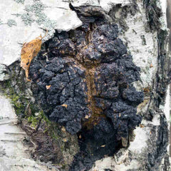 Chaga on Birch Tree